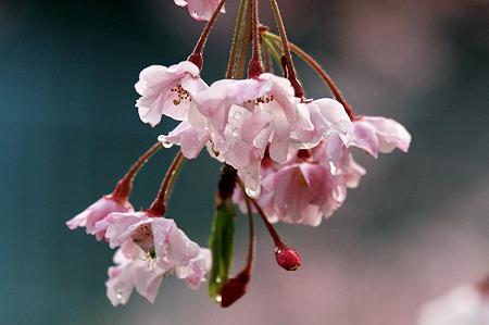 2010.04.13 和泉川 枝垂桜-1