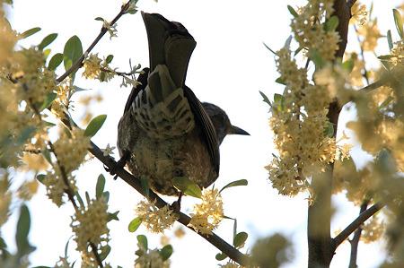 2010.04.25 和泉川 トウグミの枝にヒヨドリ