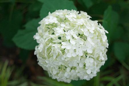 2010.06.23 山下公園 紫陽花