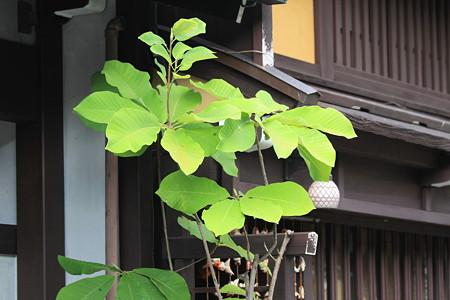 2010.08.19 高山 ほうの木