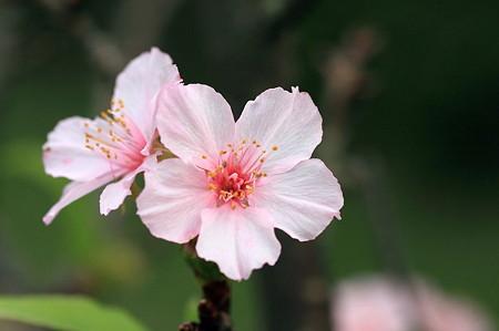 2010.10.16 和泉川 寒桜 ?