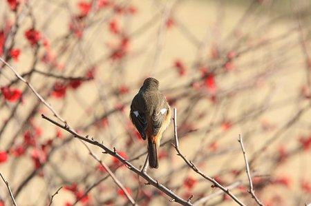 2011.02.26 和泉川 ジョウビタキ ボケ