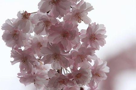 2011.04.18 和泉川 枝垂桜