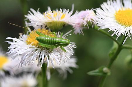 2011.05.13 追分市民の森 ハルジョオンにコロギスの幼虫