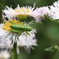 写真: 2011.05.13 追分市民の森 ハルジョオンにコロギスの幼虫
