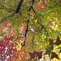 楓~ふう~ 色づく