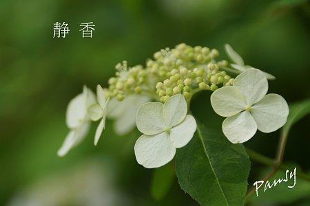 静香・・光則寺の山アジサイ 7