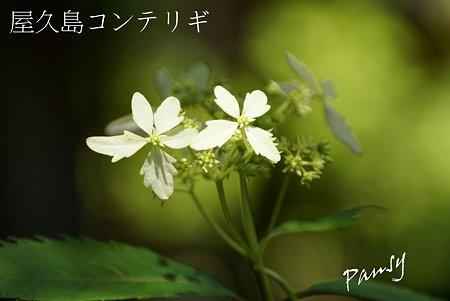 屋久島コンテリギ・・光則寺の山アジサイ 37