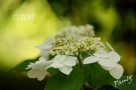 白雪姫・・光則寺の山アジサイ 38
