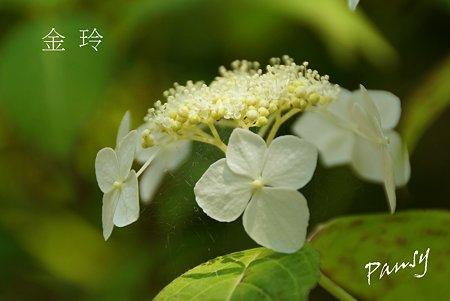 金玲・・光則寺の山アジサイ 39