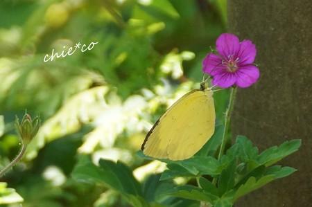 現の証拠(げんのしょうこ)と・・蝶・・