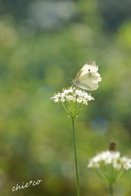 白い花と白い蝶・・