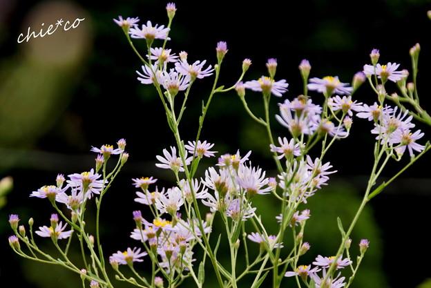 紫苑(しおん)・・