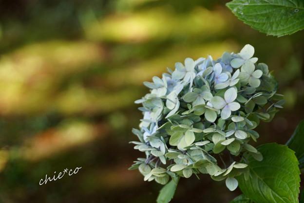 夏をこえた紫陽花・・