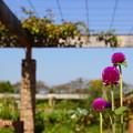 写真: 花菜ガーデン-323