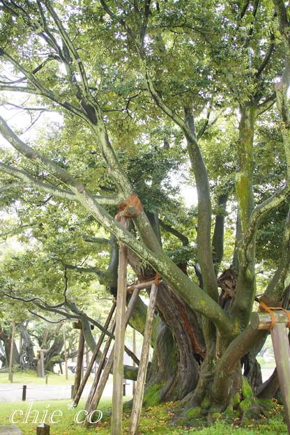 椎の大樹・・