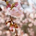 写真: 大寒桜。。