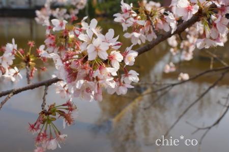 玉縄桜。。