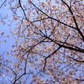 写真: 玉縄桜。。