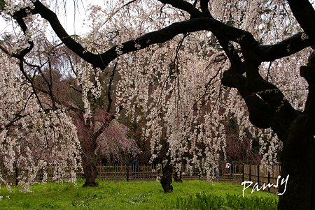 しだれ桜・・11  京都御苑 2010