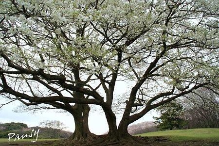 大きな桜の樹の下で・・