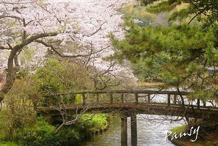 桜咲く・・三渓園・・1