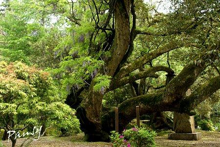 山藤の絡まる大樹・・