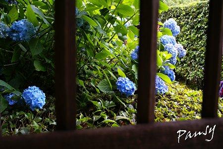 明月院 blue・・10