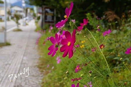 舗道に咲くコスモス・・