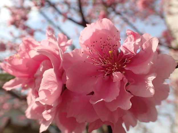 写真: 桃