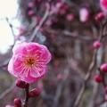 お正月に梅が咲く