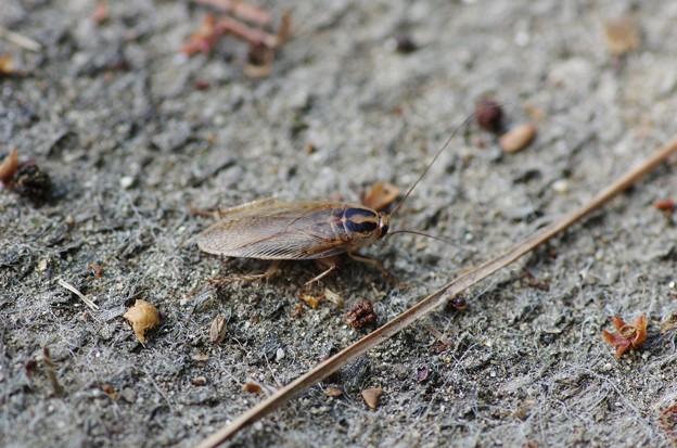 ゴキブリ?1