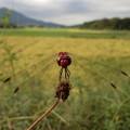 田んぼの赤トンボ