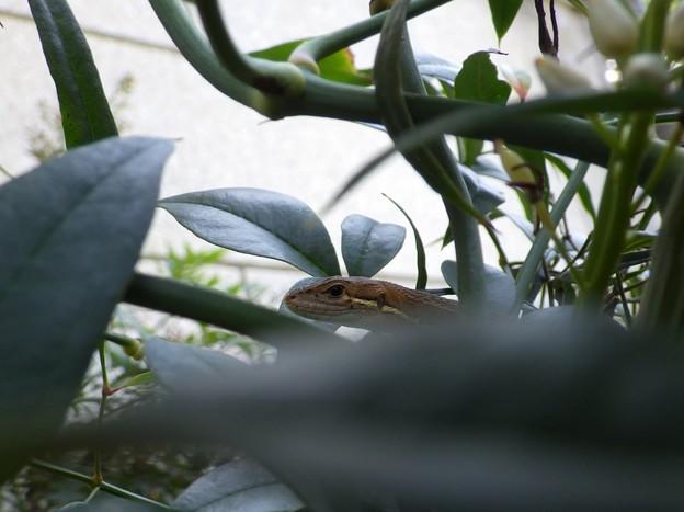 さっきまで顔の上で一緒に昼寝してたカナヘビくん