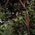 写真: アキチョウジ園芸種1610080010