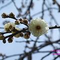 Photos: 八重茶青
