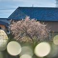 田舎の冬桜