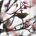 写真: 春雨じゃ~濡れて行こう!