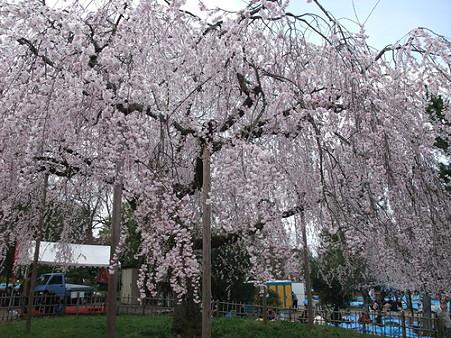 2010年4月3日円山公園09