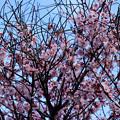 Photos: 満開の梅?