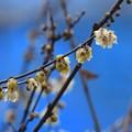 Photos: 庭のロウバイ