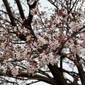 3月28日の桜3