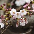 3月28日の桜4