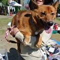 Photos: 愛かわらず抱っこ犬の姫♪