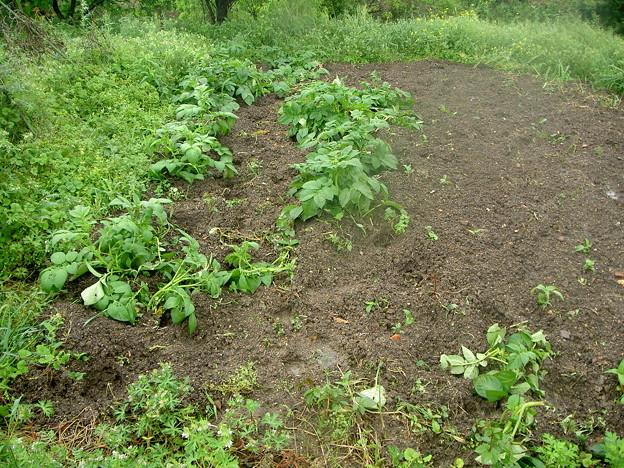 ジャガイモの被害