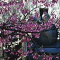 寒緋桜と機関車