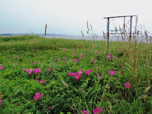ハマナス咲く海岸線