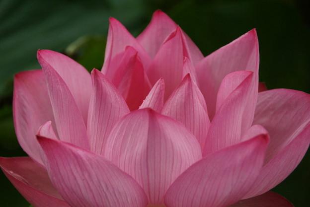 蓮華の花びら!140721