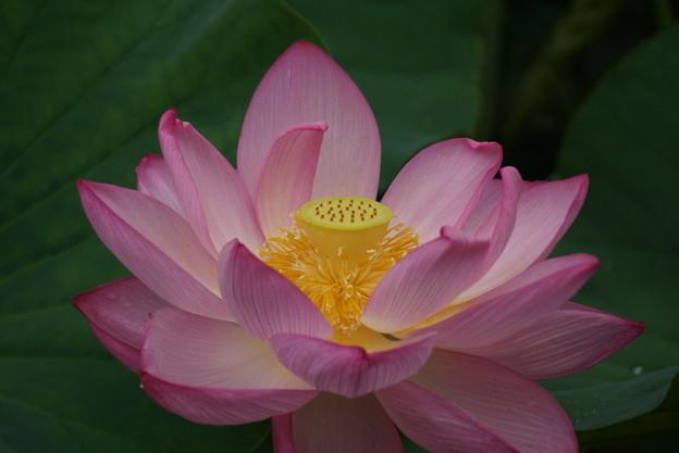 写真: 蓮の花!140721
