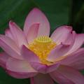 蓮の花!140721